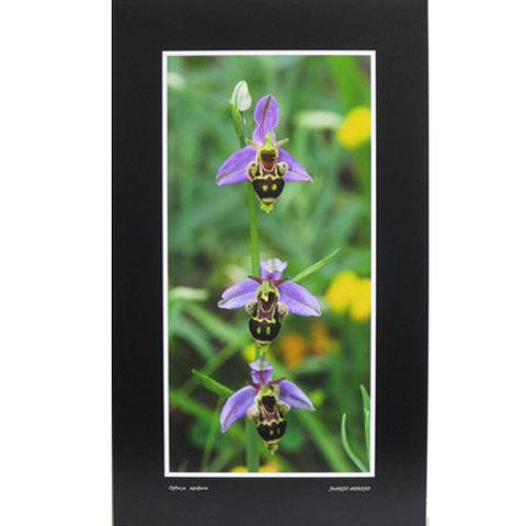 Artesania Asturiana - Ophrys Apifera - vertical - Editorial Picu Urriellu