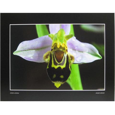 Artesania Asturiana - Ophrys Apifera - apaisada - Editorial Picu Urriellu